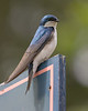 Tree Swallow on Door