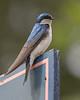 Tree Swallow on Door