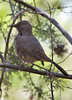Curve-billed Thrasher in Portal, Arizona