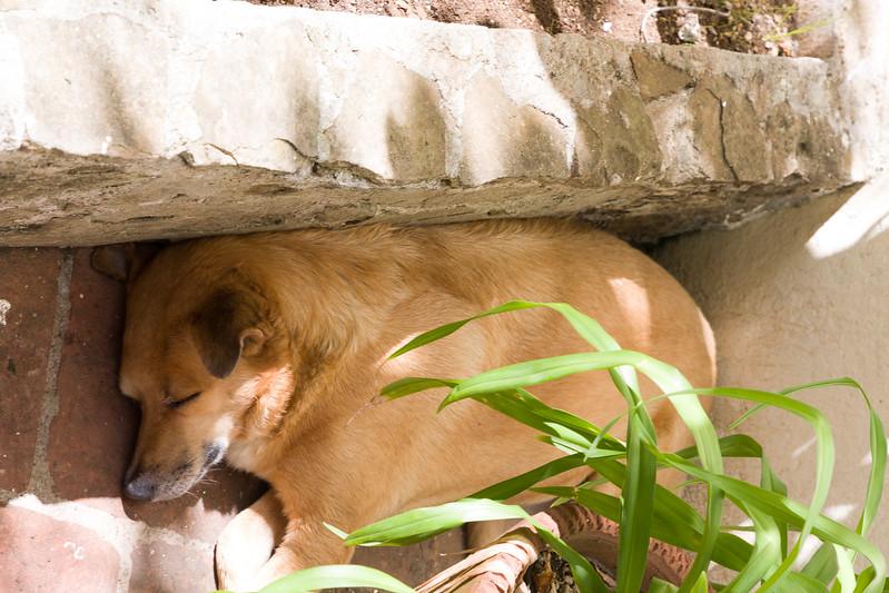 Sleeping Dog at Hemingway's House