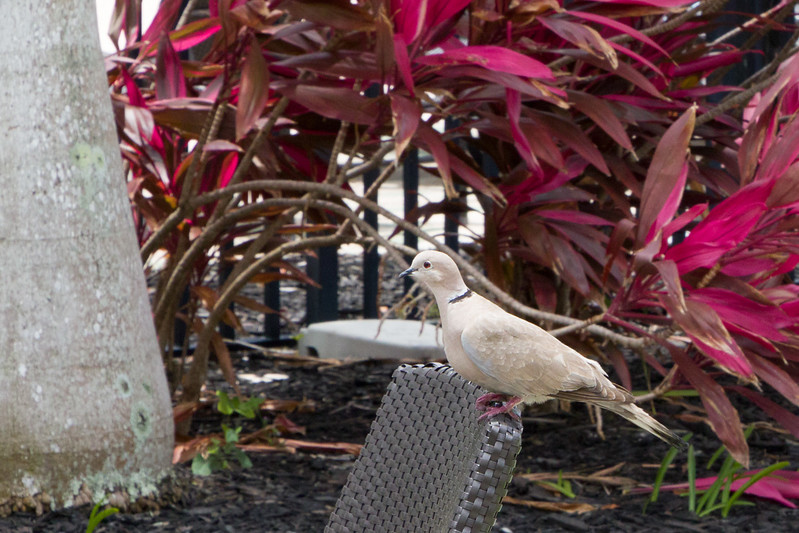 The Eurasion Collared Dove was typical in Varadero. This was near the swimmimng pool near the flaming shrubbery