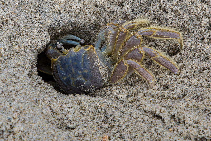 Ghost Crab in Hole