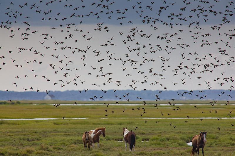 Blackbirds Over the Horses
