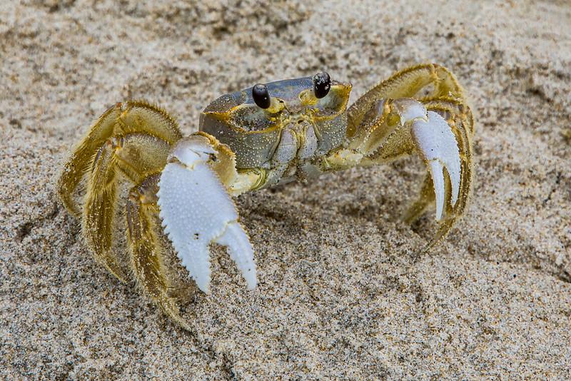 Ghost Crab up Close