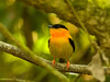 Orange Collared Manakin