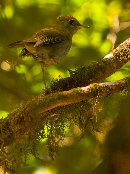 Ruddy-capped Nightingale Thrush