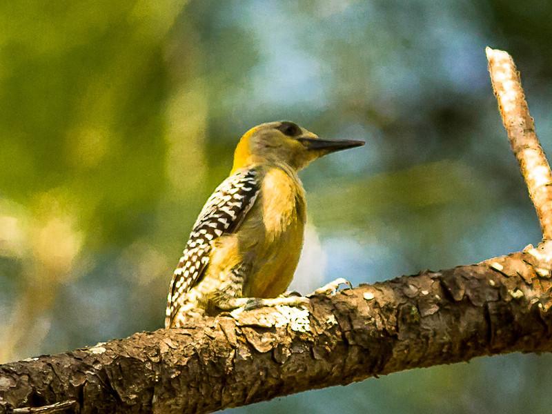 Hoffman's Woodpecker, Female