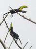 Keel-billed Toucans