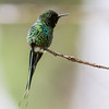 Green Thorntail (male)