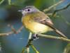 Tawny-chested Flycatcher