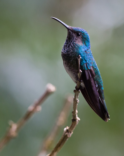 White-necked Jacobin, Female