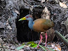 Grey-necked Wood- Rail