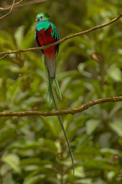 Resplendant Quetzal, Male