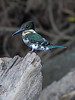 Amazon Kingfisher, Female