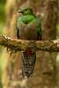 Resplendent Quetza Female