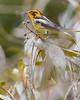Blackburnian Warbler (male)