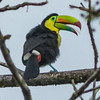 Happy Keel-billed Toucan