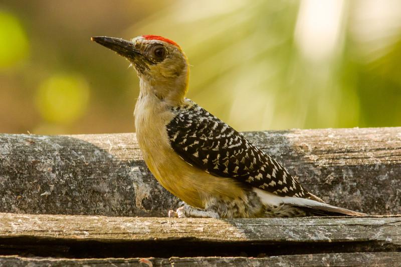 Hoffman's Woodpecker, Male