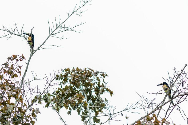 Collared Aracari Pair