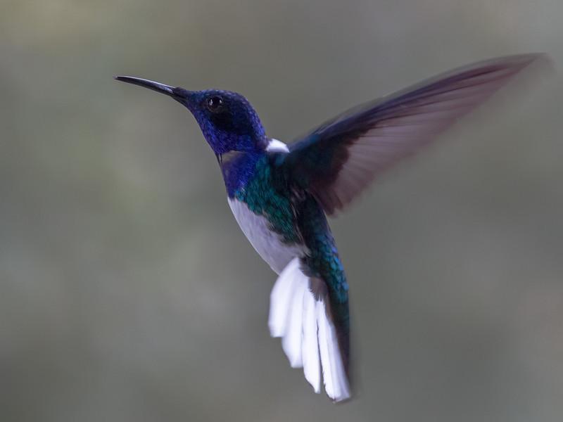 White-necked Jacobin in flight