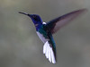 White-necked Jacobin in flight