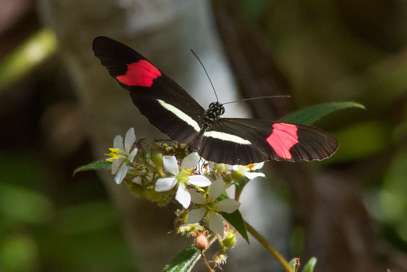 Heliconia Butterfly