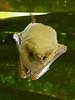 White Pigmy Bat