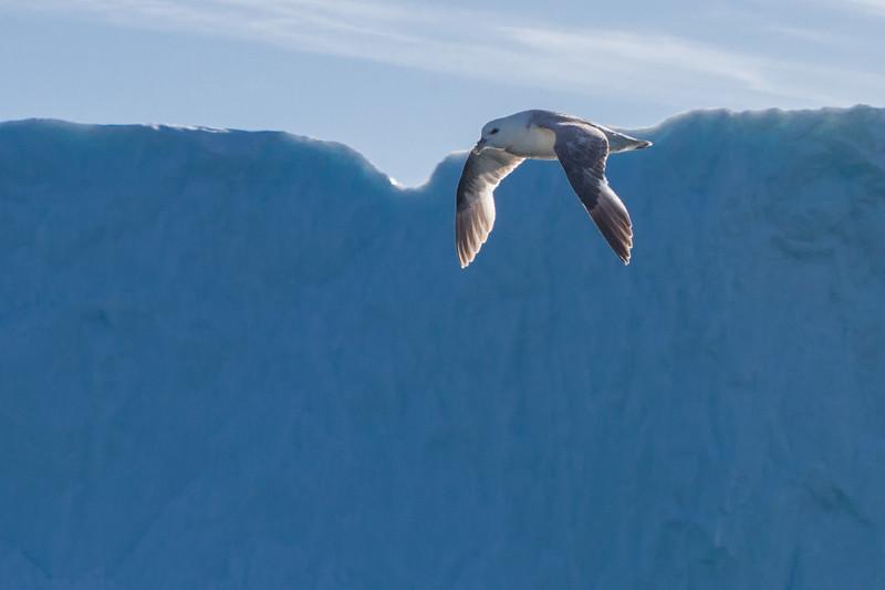 Flying Glaucous Gull