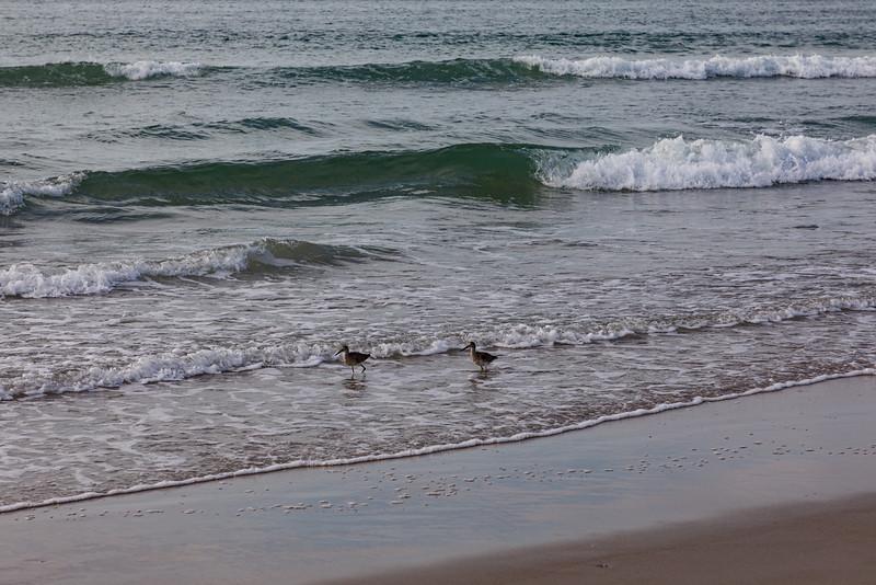 Willets Feeding on the Beach II