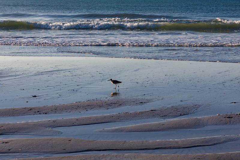 Willet in Beach Formation