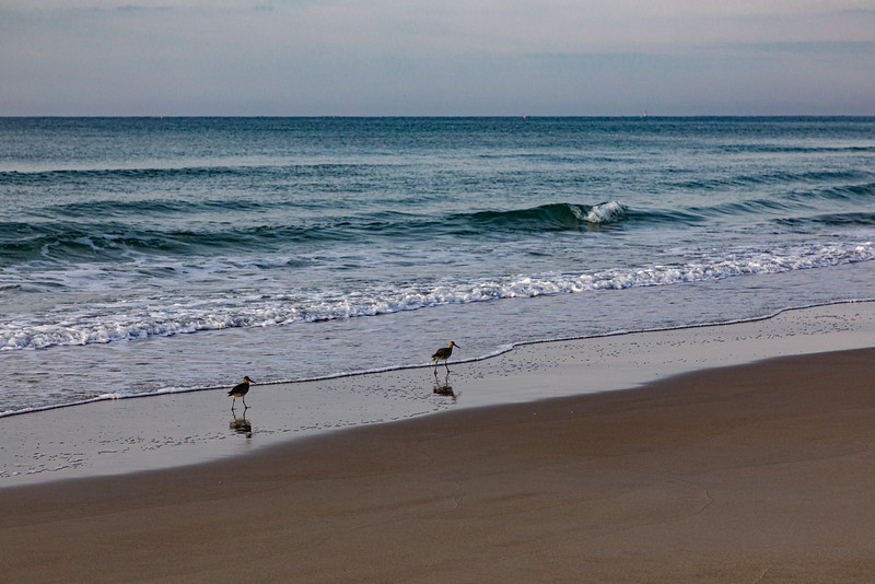 Willets Feeding on the Beach I