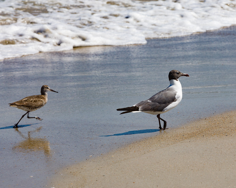 Willet and Laughing Gull on the Beach