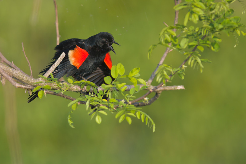 Red-winged Blackbird, Breeding