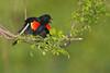 Red-winged Blackbird, Breeding