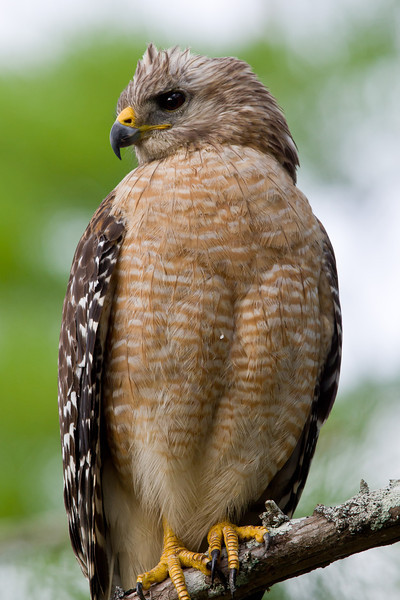 Red-shouldered Hawk, Perched