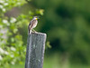 Eastern Meadowlark Singing the Put Put Song