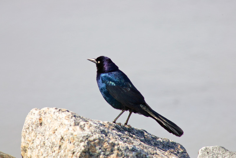 Common Grackle, Sandbridge Beach, Virginia