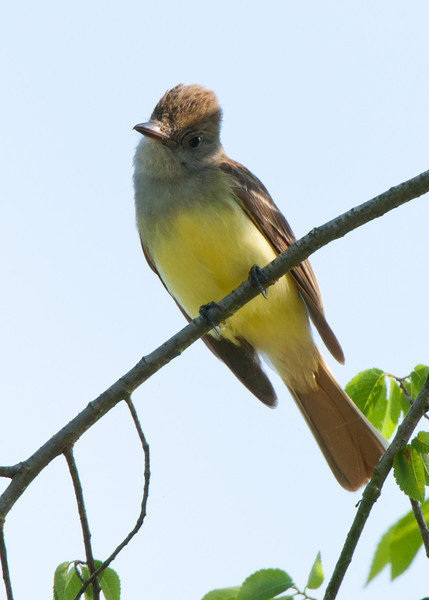 Great-Crested Flycatcher, Rice Center, Charles City County, VA