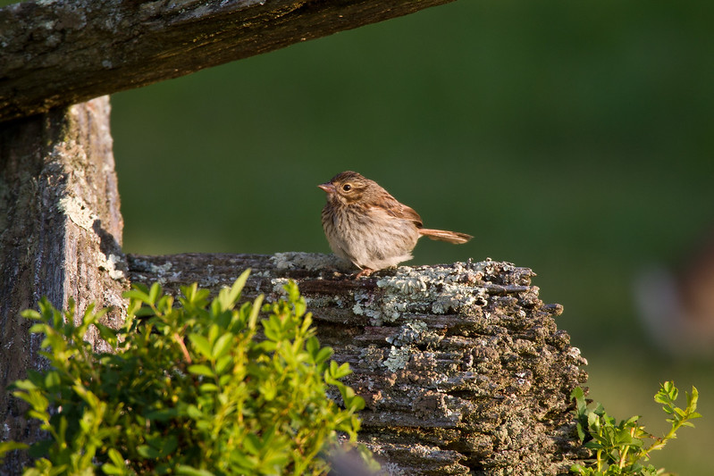 Field Sparrow, Juvenile: Highland County, VA
