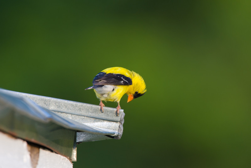 American Goldfinch. Highland County, VA