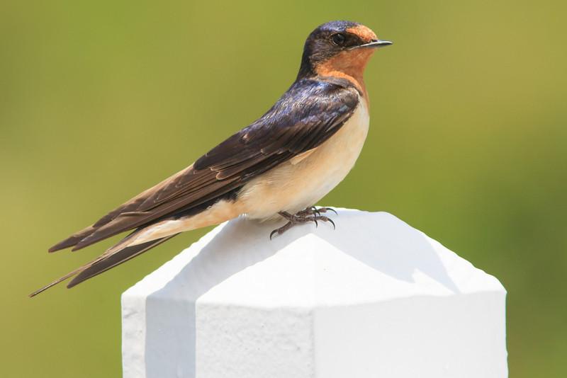 Cliff Swallow at Bramble Farm, Blue Grass, Highland County, VA near nest under eave of farmhouse.