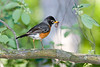American Robin. 42nd St, James River Park, Richmond, VA