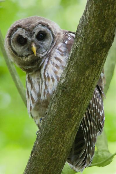 Barred Owl on Tree