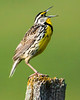"Eastern Meadowlark Singing ""Spring of the Year"""""