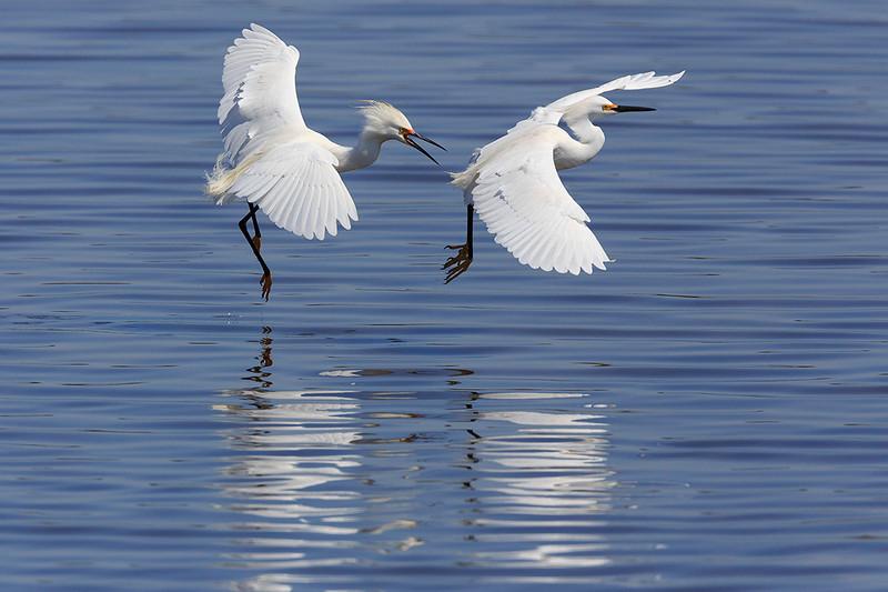 Snowy Egrets Chasing