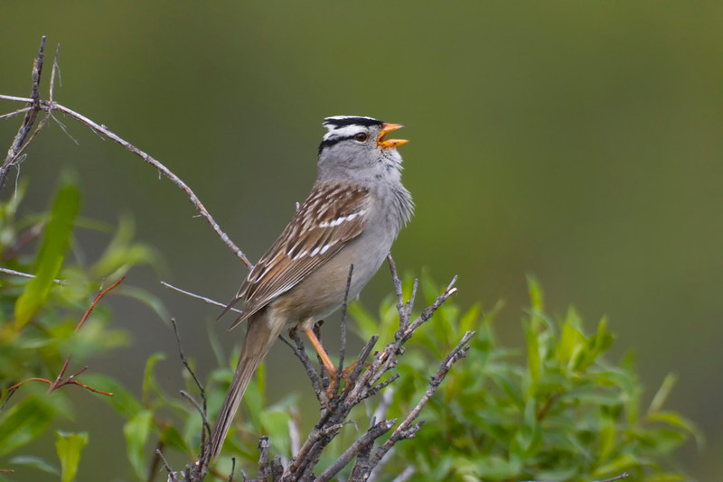 White-crowned Sparrow singing. Found commonly in Virginia, but this image is from Alaska.
