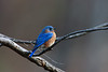 Eastern Bluebird, Chesterfield County, Virginia