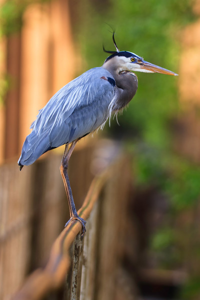 Great Blue on Rail