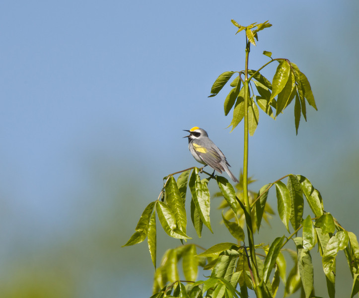 Golden-winged Warbler, Highland County, VA