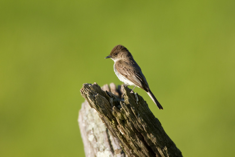 Eastern Phoebe, Highland County, VA